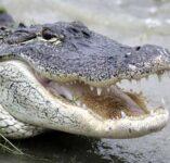 Gator Hunting