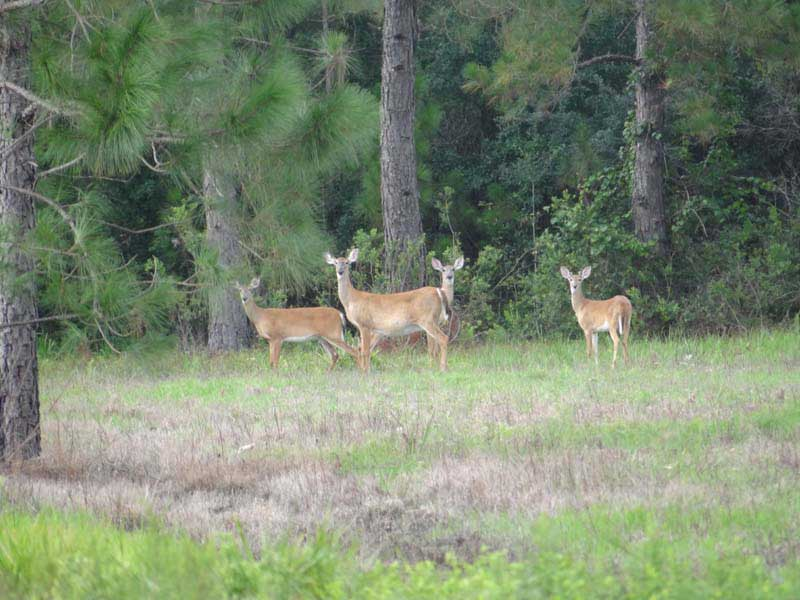hunting-in-florida-whitetail-deer-hunting-013