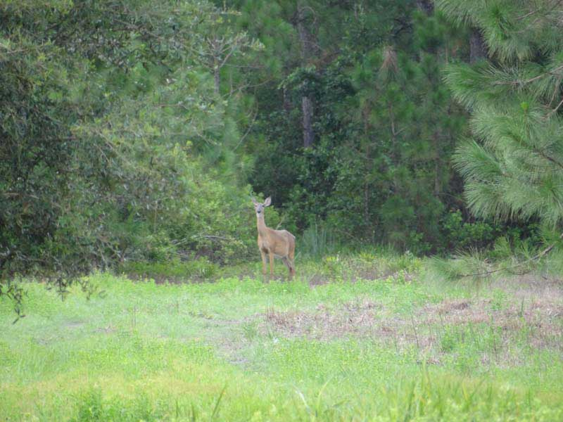 hunting-in-florida-whitetail-deer-hunting-014