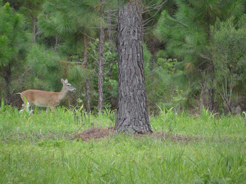 hunting-in-florida-whitetail-deer-hunting-015