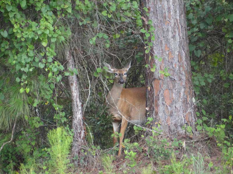 hunting-in-florida-whitetail-deer-hunting-016