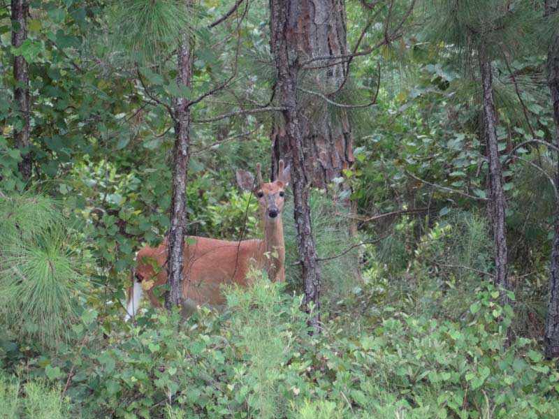 hunting-in-florida-whitetail-deer-hunting-017