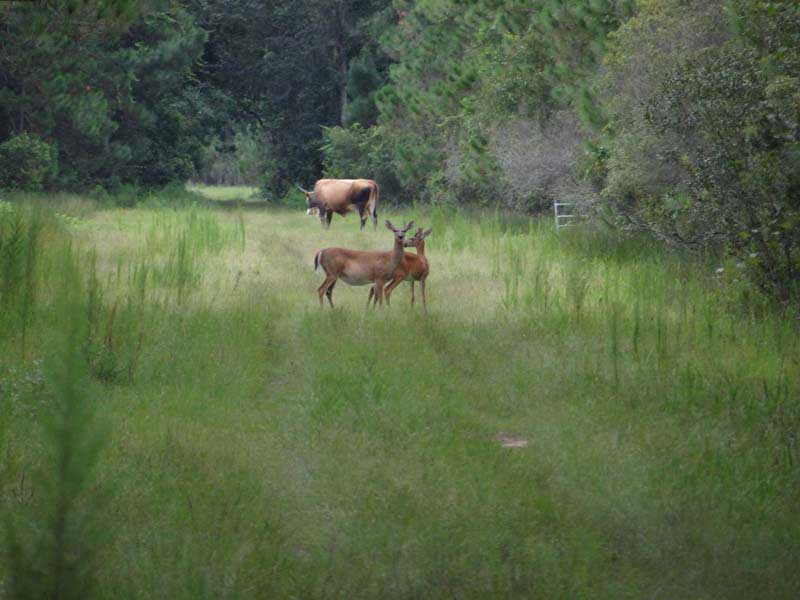 hunting-in-florida-whitetail-deer-hunting-018