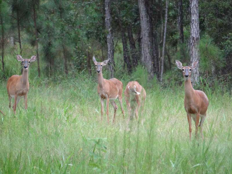 hunting-in-florida-whitetail-deer-hunting-019