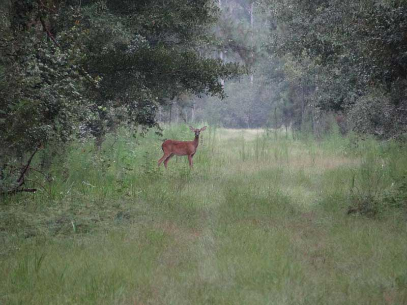hunting-in-florida-whitetail-deer-hunting-021