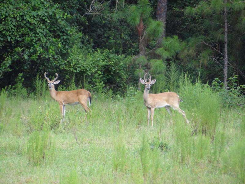 hunting-in-florida-whitetail-deer-hunting-024