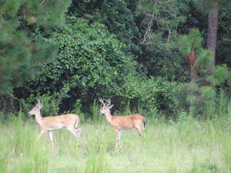hunting-in-florida-whitetail-deer-hunting-025