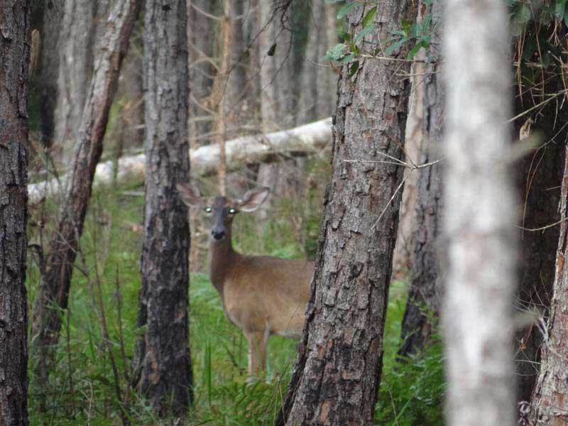 hunting-in-florida-whitetail-deer-hunting-026