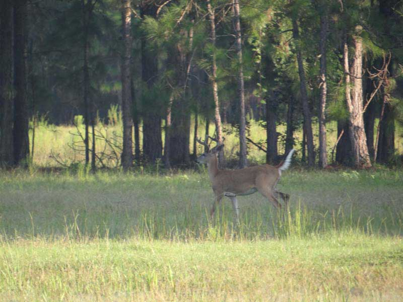 hunting-in-florida-whitetail-deer-hunting-028