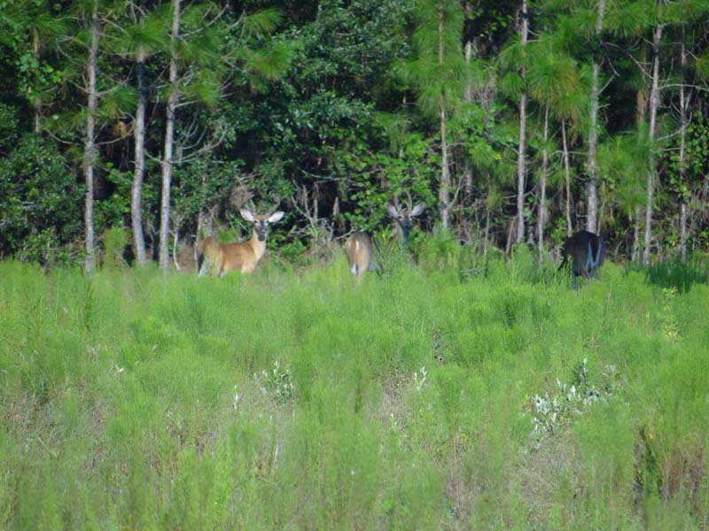 hunting-in-florida-whitetail-deer-hunting-030
