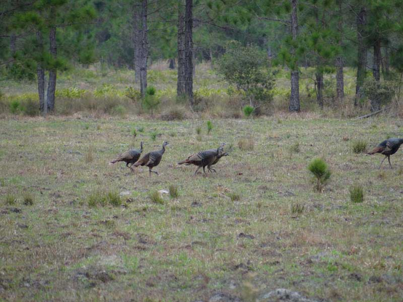 osceola-florida-turkey-hunting-001