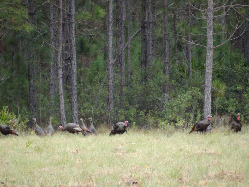 osceola-florida-turkey-hunting-004
