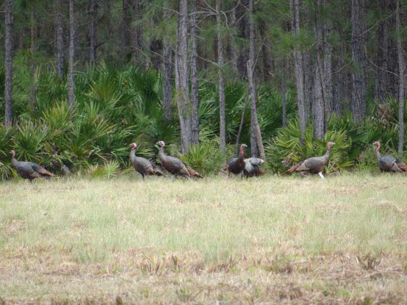 osceola-florida-turkey-hunting-006