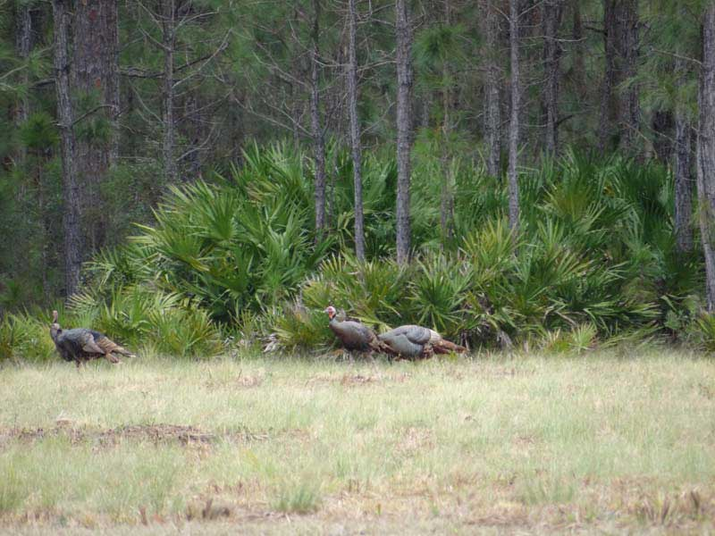 osceola-florida-turkey-hunting-007