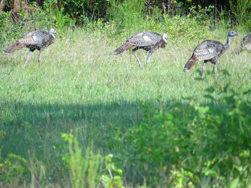 osceola-florida-turkey-hunting-011