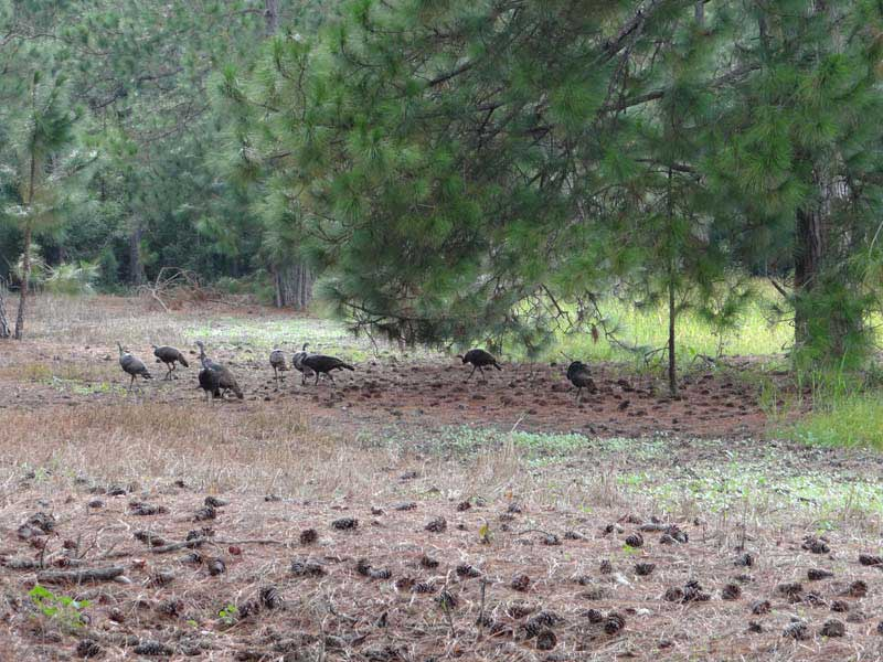 osceola-florida-turkey-hunting-013