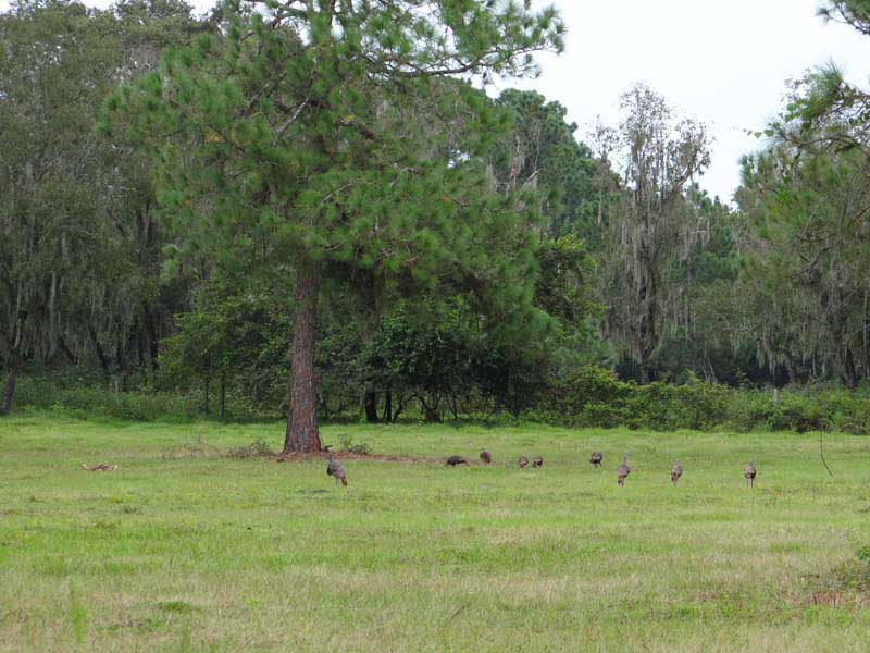 osceola-florida-turkey-hunting-014