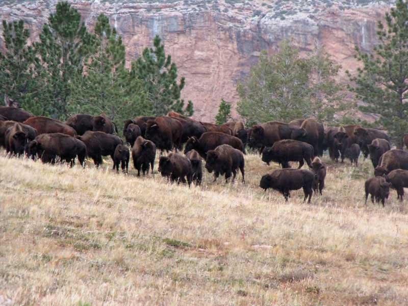 bufflo-hunting-in-montana-005
